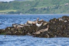 Skye island seals Royalty Free Stock Photo