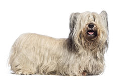 Skye Terrier Stock Foto