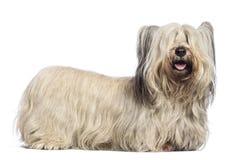 Skye Terrier Stockfoto