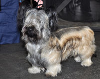 Skye Terrier dog exhibition Stock Image