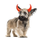 Skye Terrier dog with horns Royalty Free Stock Image