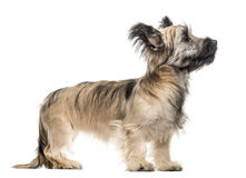 Skye Terrier dog looking up isolated on white Royalty Free Stock Images