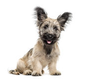 Skye Terrier dog sitting isolated on white. Skye Terrier dog sitting and looking at the camera isolated on white Royalty Free Stock Photography