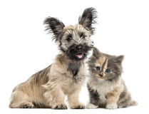 Skye Terrier and European Shorthair facing isolated on white Royalty Free Stock Photography