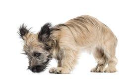 Skye Terrier-Hund, der unten schaut Stockfotos