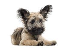 Skye Terrier hund som ligger ner isolerat på vit Royaltyfri Fotografi