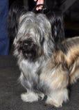 Skye Terrier hundutställning Royaltyfria Bilder