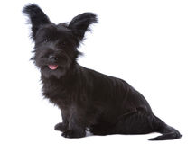 Skye terrier puppy stock photography