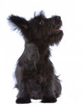 Skye terrier puppy isolated Royalty Free Stock Photos