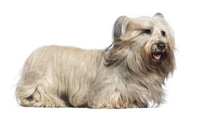 Skye Terrier with wind in the face Stock Photos