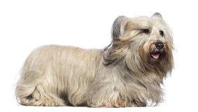 Skye Terrier z wiatrem w twarzy Zdjęcia Stock