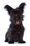 Skye Terrierwelpe getrennt Lizenzfreie Stockfotos