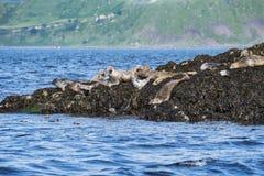 Skye wyspy foki Zdjęcia Royalty Free