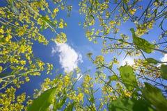 Skyen inramning, genom att blomma oilseeden, våldtar Royaltyfri Foto