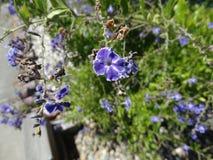 Skyflower, Pigeonberry, Duranta erecta Stock Photos