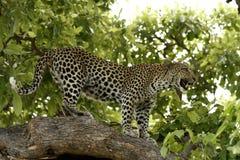 Skyhög leopard Royaltyfri Bild