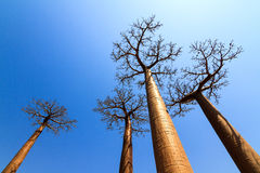 Skyhigh Baobabs Royalty Free Stock Photos