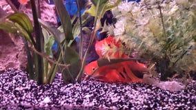 Skyla att ta sig en tupplur för svansguldfisk Royaltyfria Bilder
