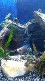 skyla H för svansguldfiskpandan Royaltyfria Foton