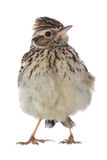 Skylark Alauda arvensis Royalty Free Stock Photography