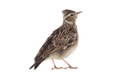 Skylark Alauda arvensis Royalty Free Stock Photos