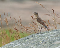 Skylark Alauda arvensis kid Stock Photo