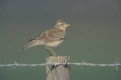 Skylark, Alauda arvensis Royalty Free Stock Photography
