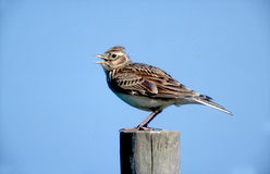 Skylark, Alauda arvensis Stock Photo