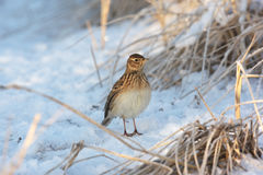 Skylark, Alauda arvensis Stock Photos