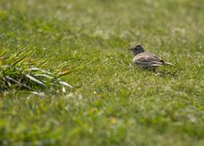 Skylark (Alauda arvensis) Stock Photos