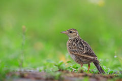 Skylark (Alauda gulgula) Royalty Free Stock Photography