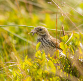 Meadow pipit bird. With a grasshopper bug in beak Royalty Free Stock Images