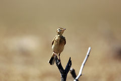 SKYLARK BIRD Stock Image