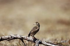SKYLARK BIRD Stock Photos