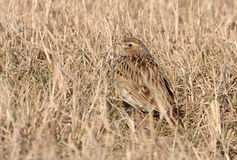 Skylark in dry grass Stock Images