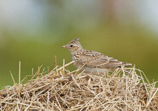 Skylark on a dry grass Royalty Free Stock Photos