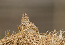 Skylark on a dry grass Stock Photo