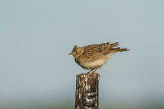 Skylark on a fence Stock Photos