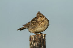 Skylark on a fence Stock Photography