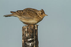 Skylark on a fence Royalty Free Stock Photo