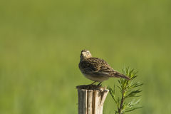 Skylark on a fence Royalty Free Stock Image