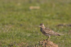 Skylark on Grass (Alauda arvensis). A skylark is looking around on a piece of rock Stock Photos