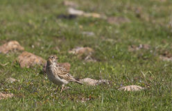 Skylark on Grass (Alauda arvensis). A skylark is looking around on a piece of rock royalty free stock images