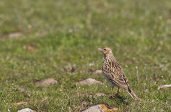 Skylark on Grass (Alauda arvensis). A skylark is looking around on a piece of rock stock photography