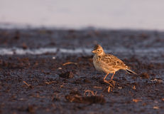 Skylark on the ground Royalty Free Stock Photo