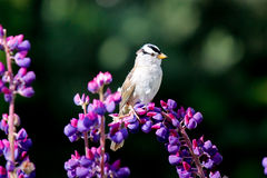 Skylark at Lupine Flower Stock Photography