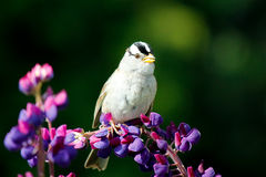 Skylark at Lupine Flower Royalty Free Stock Photo