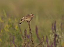 Skylark male sitting on a dry branch in the steppe. Stock Photography