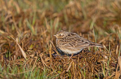 Skylark on the meadow Stock Image