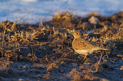 Skylark on the melted patch Stock Photos